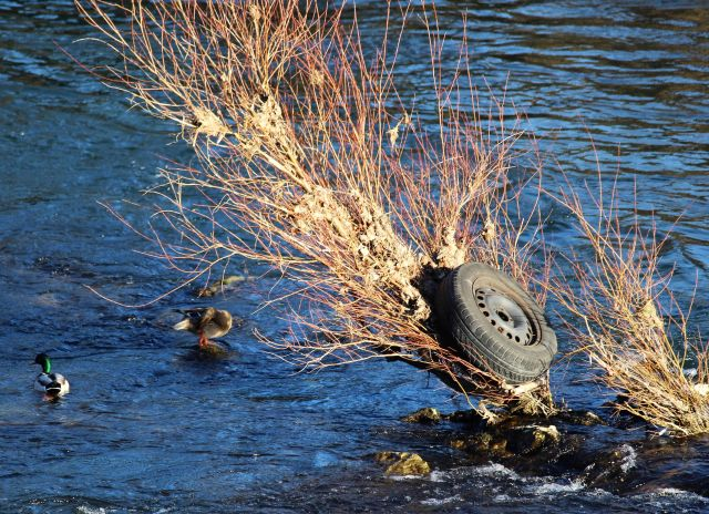 Ein schwarzes Rad - schwarzer Reifen auf Felge - hängt über der Wasserlinie an einem Strauch in der Mitte des Neckars. Zwei Enten schwimmen ort auch.