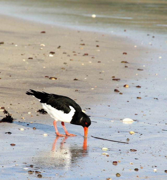 Ein Austernfischer bohrt seinen langen roten Schnabel in den Sand. Die Oberseite ist schwar, die Unterseite weiß. Seine Beine sind rot.