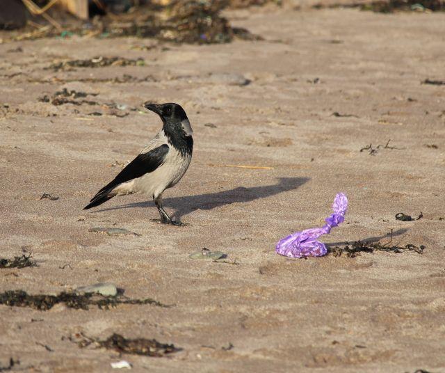 Lila Beutel mit Hundekot am Sandstrand. Eine Neblkrähe steht daneben.