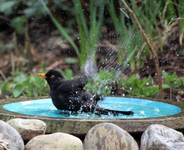 Eine schware Amsel badet mit vielen Spritzern in einem blauen Vogelbecken.