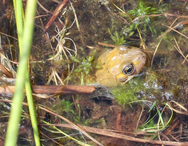 Ein Grasfrosch streckt seinen gelben Kopf aus einer mit Wasser gefüllten Fahrrinne.