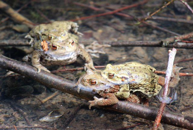 Zwei Krötenpaare - das Männchen jeweils auf dem Rücken der weiblichen Kröte - in einem Tümpel.