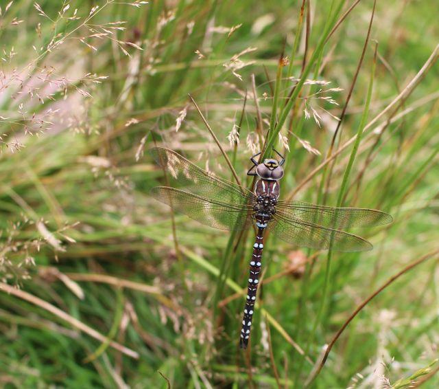 Eine Libelle mit schwarzen Streifen an einem Grashalm.