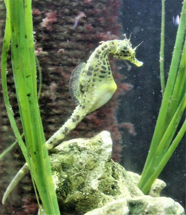 Grünliches Seepferdchen mit grünen Wassetrpflanzen und einem Steinbrocken.