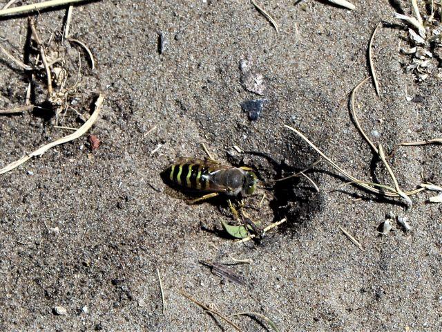 Eine schwarz-gelblich gestreifte Biene auf sandigem Untergrund vor ihrem Bau.