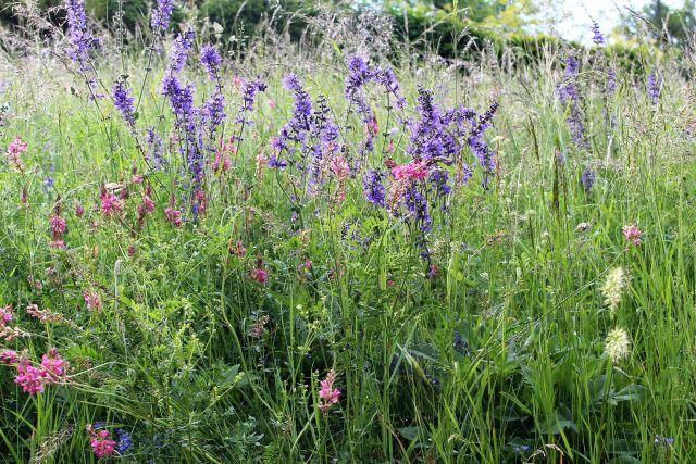 Bunte Wiese mit Blühpflanzen in lila und rot.