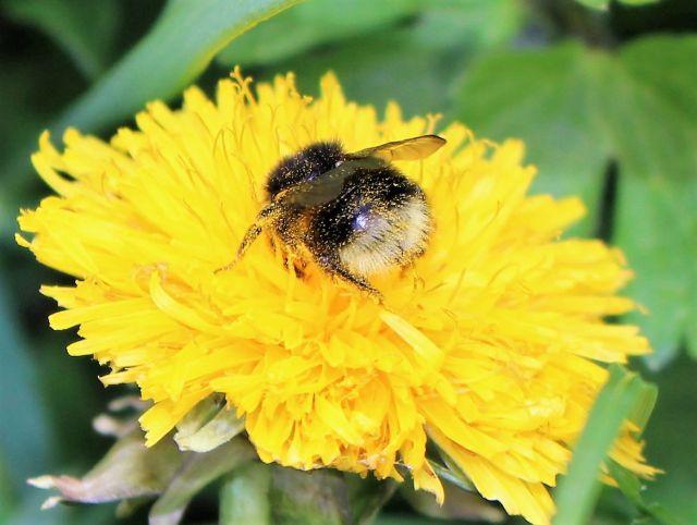 Hummel auf einer gelben Blüte. Die Hummel selbsthat in ihren feinen Härchen zahlreiche Pollen hängen.