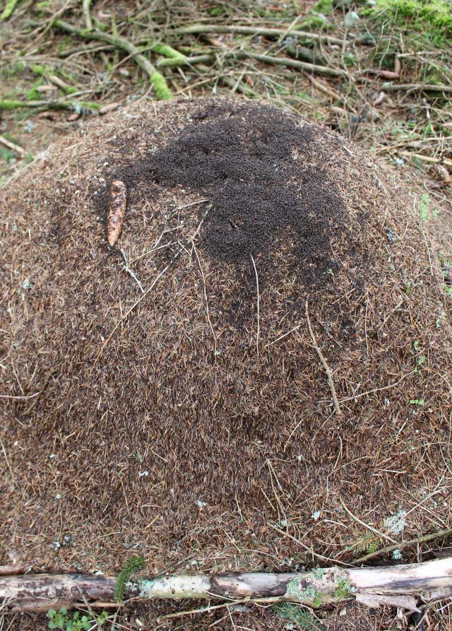 Ein Ameisenhügel aus Tannen- und Fichtennadeln, auf diesem hellbraunen Berg befinden sich dunklere 'Flecken' - gebildet aus Ameisen.