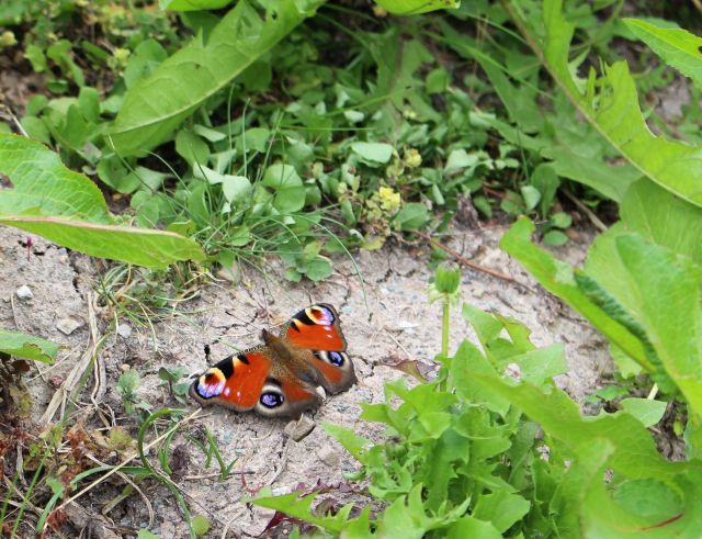 Ein Tagpfauenauge umgeben von grünen Bodenpflanzen. Seine farbigen 'Augen' auf den Flügeln sind deutlich erkennbar.