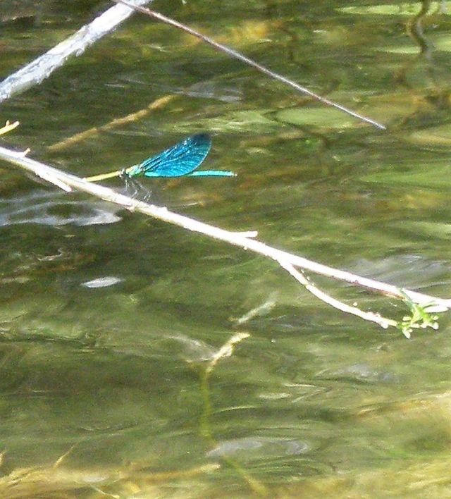 Eine filigrane Libelle mit blauen Flügeln schwebt über der Donau.