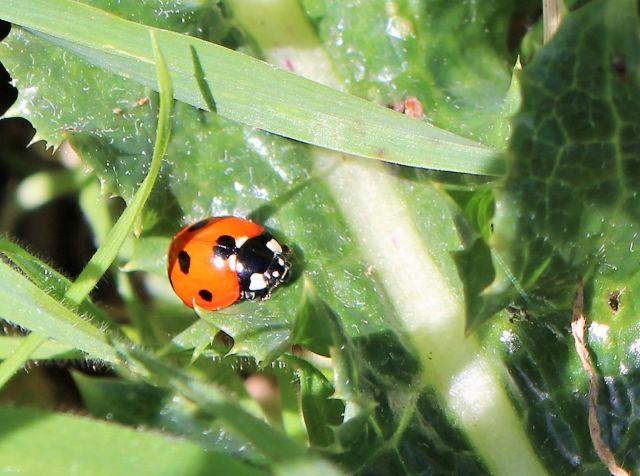 Roter Marienkäfer mit schwarzen Punkten und schwarzem Kopf auf einer grünen Distel.
