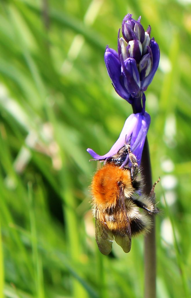Eine Hummel saugt an der Blüte eines baleuen Hasenglöckchens.