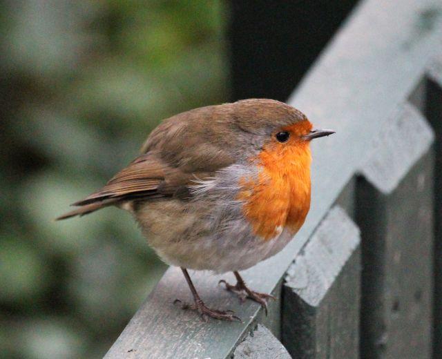 Ein Rotkehlchen sitzt auf einem grauen Geländer. Der kleine Vogel hat eine rötliche Brust und einen bräunlichen Rücken.