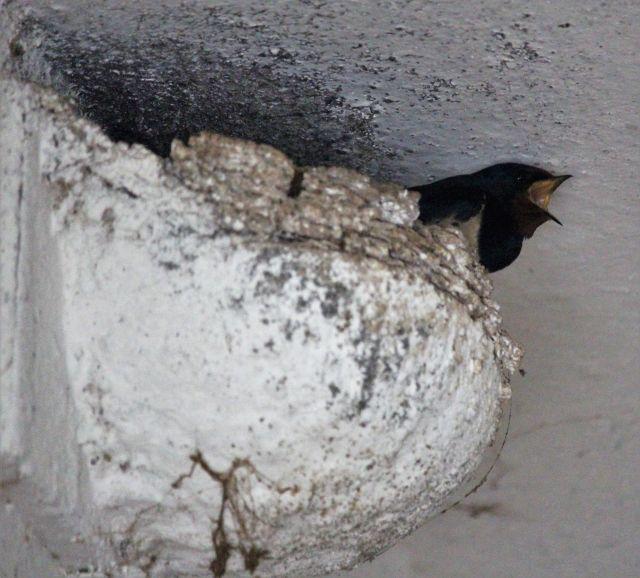 Eine dunkle Rauschschwalbe reckt ihren Kopf mit geöffnetem Schnabel aus dem an der Wand gebauten Nest heraus.