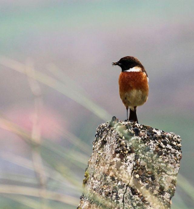 Ein Schwarzkehlchen mit dunklem Kopf und weißem Streifen als Übergang zum braunen Körper. Der Vogel sitzt auf einem Betonpfahl und hat ein Insekt im Schnabel.