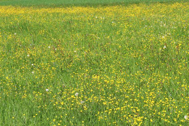 In einer grünen Wiese ragen über die Gräser die gelben Blüten des Hanenfusses hinaus.