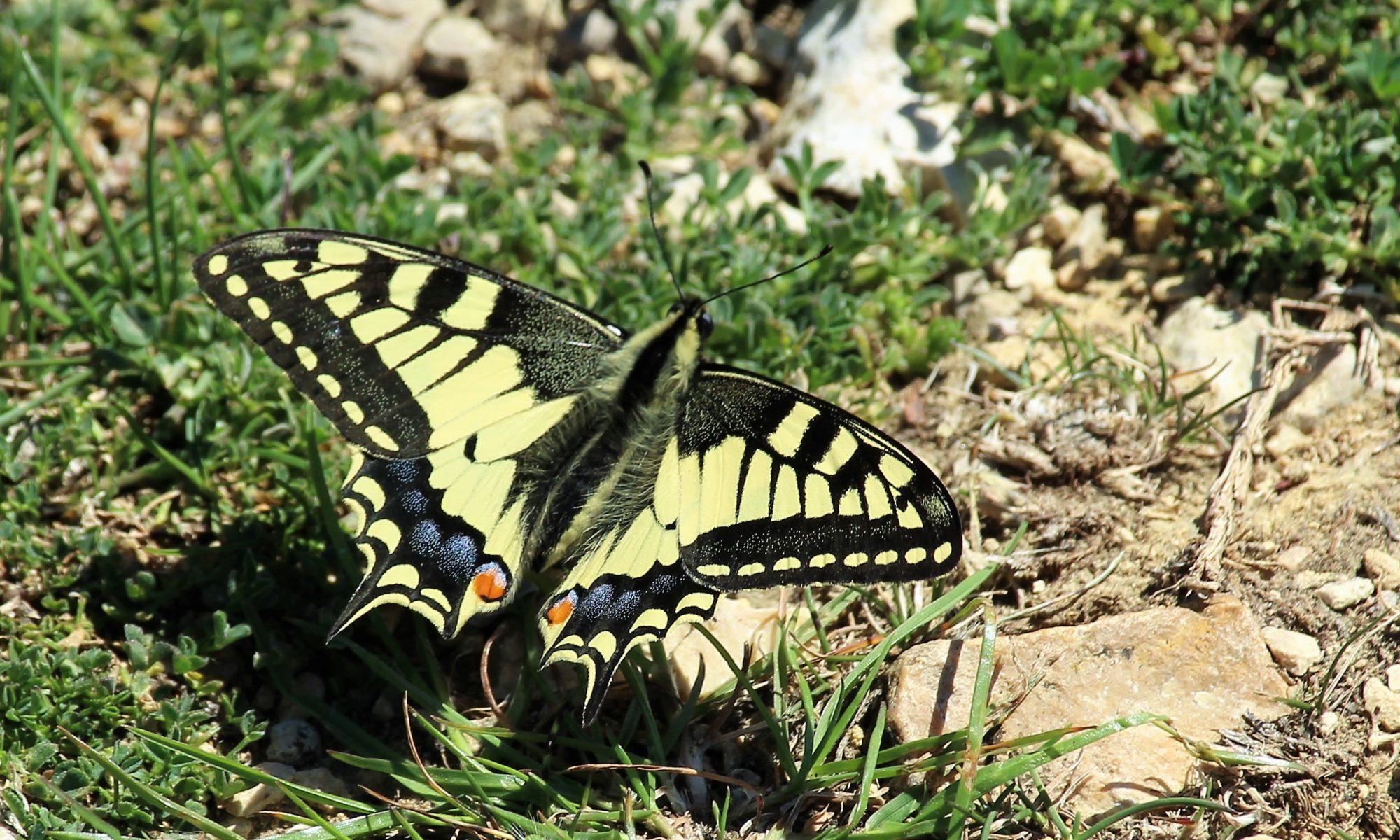 Ein Schmetterlin: ein Schwalbenschwanz. Er hat gelbe Flügel mit schwarzen Mustern.