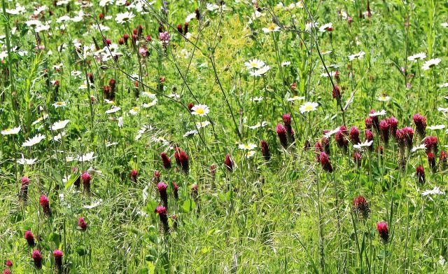 Rötliche Blüten und weiße Margeriten in einer üppigen Blühwiese.