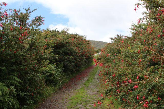 Wanderweg mit rot blühenden Fuchsien auf beiden Seiten.