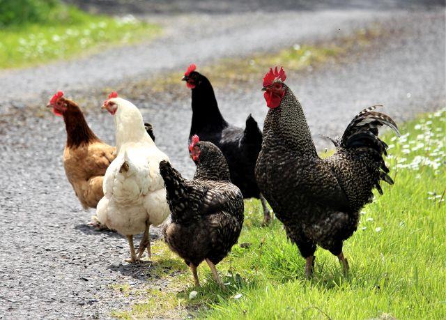 Schwarzer Hahn mit rotem Kamm und drei Hennen in schwarz, braun und weiß.