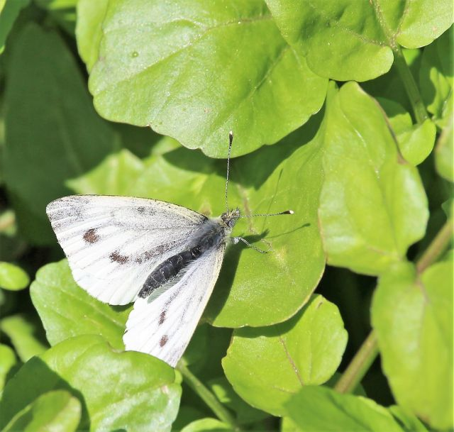 Heller Schmetterling auf grünen Blättern.