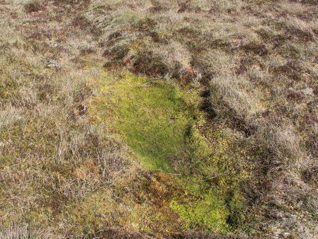 Ein kleiner ausgetrockneter grünlicher Moortümpel. Der umgebende Bewuchs ist bräunlich.