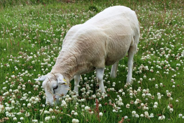 Ein helles Texel-Schaf auf einer Wiese mit weißen Kleeblüten.