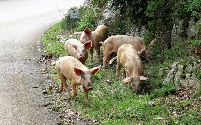 Fünf helle Schweine auf dem grünen Randstreifen neben einer asphaltierten Straße.