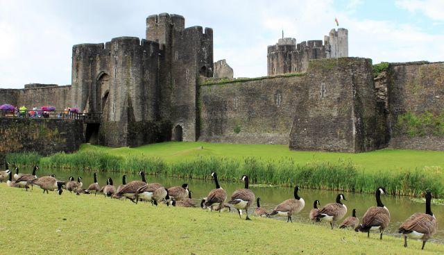 Im Hintergrund eine Burg aus Quadern. Davor der Wassergraben und zahlreiche Kanadagänse: Braun, schwarzer Hals und weiße Halskrause.