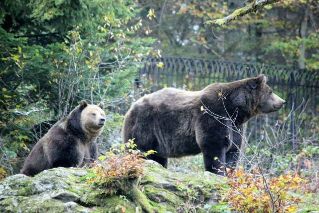 Zwei braune Bären mit hellem Gesicht in Umgebung von Büschen und Bäumen.