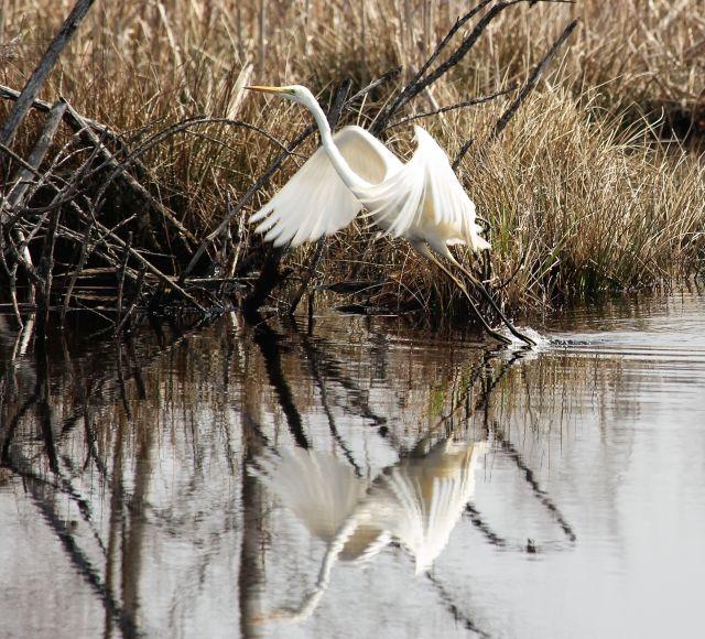 Ein Silberreiher startet im Wasser. Seine Spiegelung ist auch zu sehen. Der Silberreiher hat weiße Federn.