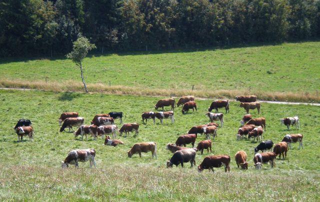 Braune Rinder auf einer grünen Wiese, im Hintergrund Bäume.