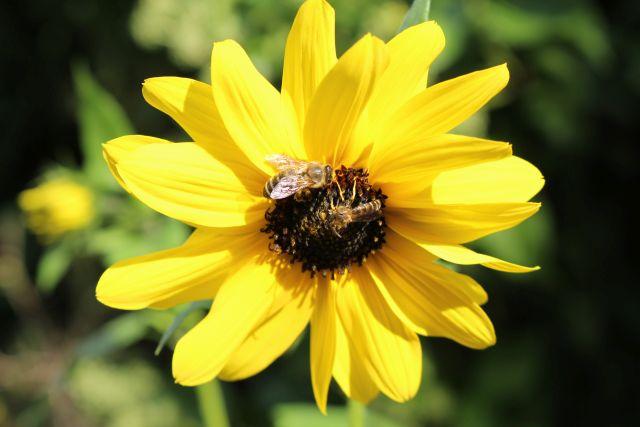 Zwei Insekten auf einer gelben Blume.