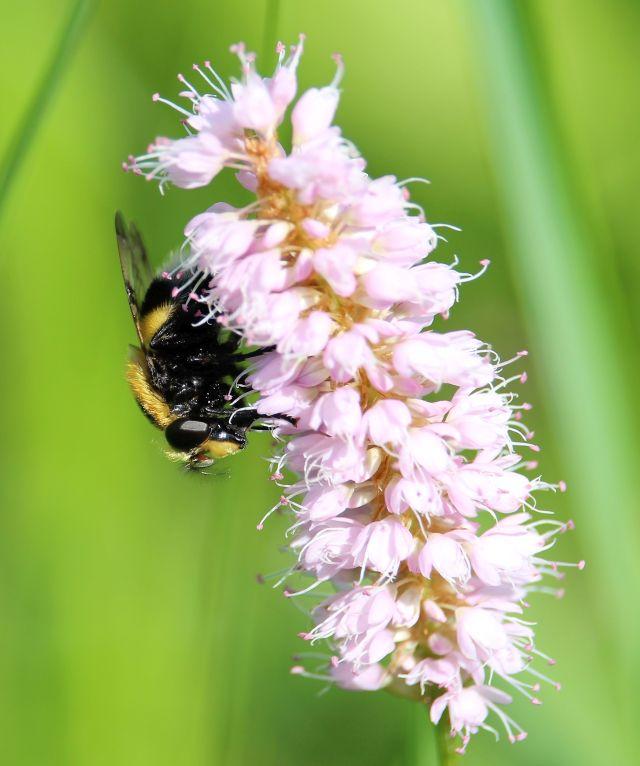 Eine Biene an einer leicht rosafarbenen Blüte.