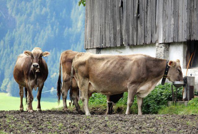 Eine Kuh trinkt aus einer automatischen Wasserschale an einem Stallgebäude. Zwei weitere braune Kühe stehen an.