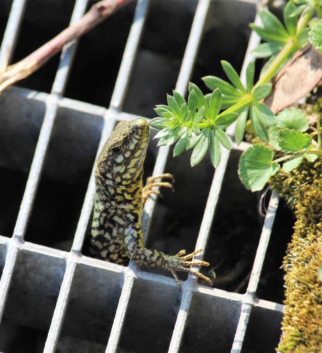 Eine Eidechse klettert aus einem Metallgitter und betrachtet eine grüne Pflanze.