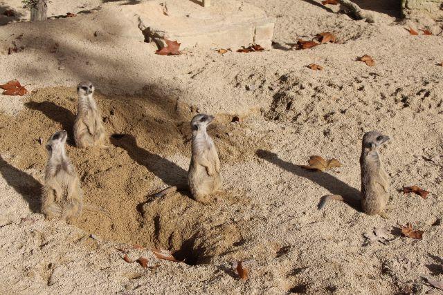 Vier hellbraune Erdmännchen auf einer Sandfläche. Sie beobachten auf den Hinterbeinen stehend das Umfeld