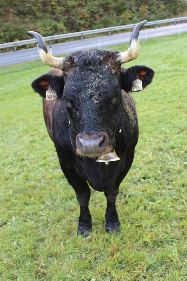 Ein schwarzes Rind mit langen gebogenen Hörnern auf einer grünen Wiese. Die Kuh hat eine Glocke um.