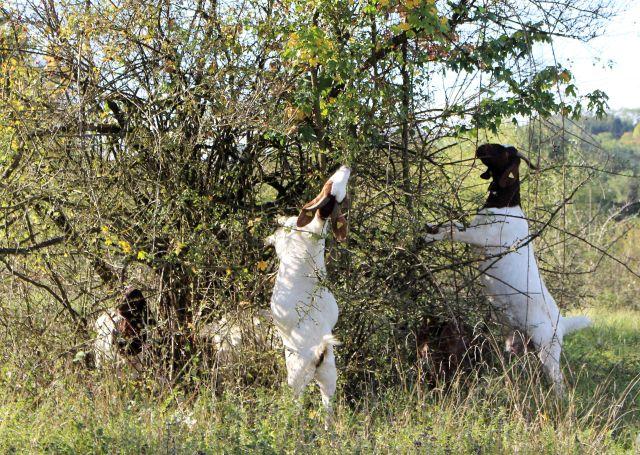 Braun-weiße Ziegen knabbern an einem dornigen Busch. Sie stehen dabei auf den Hinterbeinen.