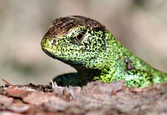 Grünlich-braune Zauneidechse. Sichetbar sind Kopf und Vorderkörper.