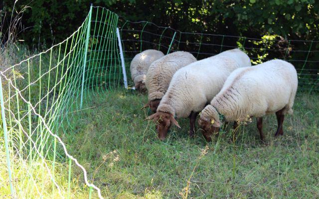 Vier Schafe mit hellem Fell hinter einem grünlichen Elektrozaun.