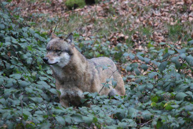 Grau-brauner Wolf schaut aus Brombeergebüsch.