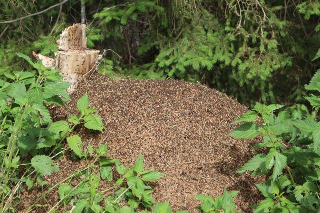 Ein Ameisenhügel mit einem integrierten Baumstumpf, umgeben von grünen Blattpflanzen.
