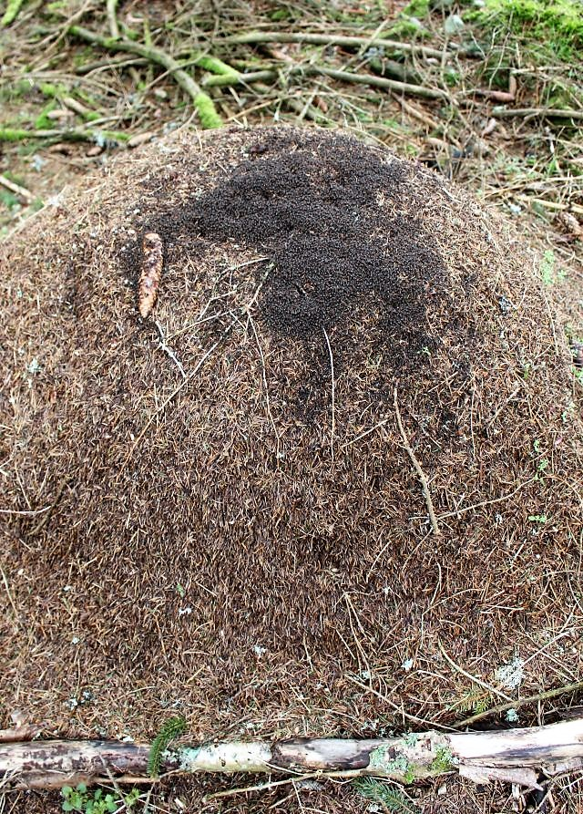 Ameisenhügel aus Tannen- und Fichtennadeln in hhelm braun. Ein Kiefernzapfen liegt auf ihm. Im oberen Bereich dunkle Ansammlung von Ameisen, die sich sonnen.