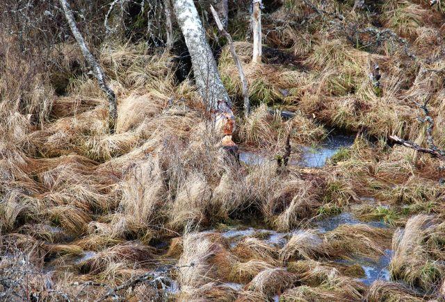 Eine vom Biber gefällte Birke. Umgeben von einer Moorfläche.
