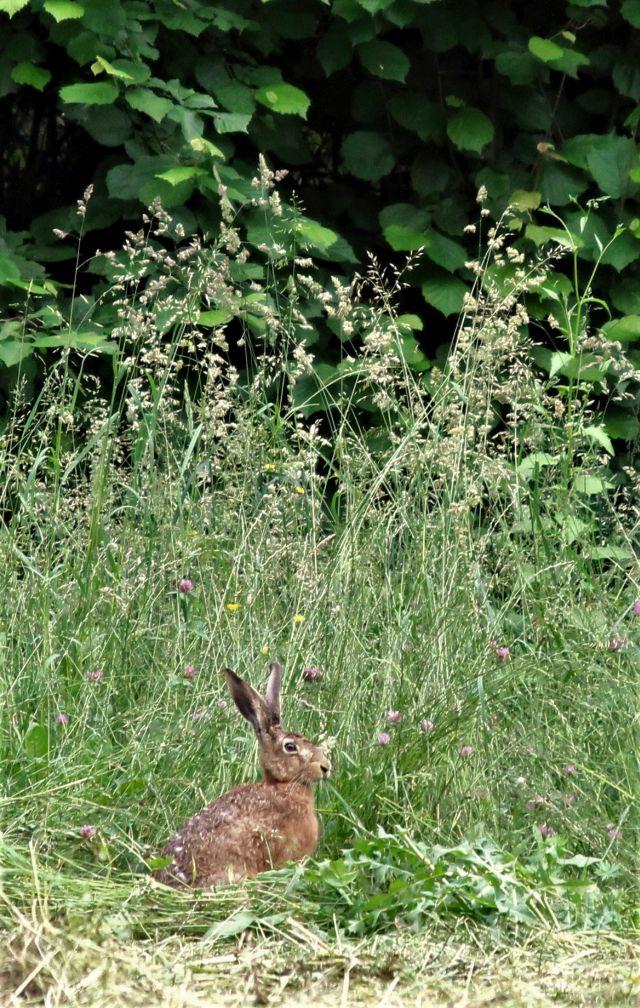 Feldhase mit bräunlicher Fwellfärbung vor hohem Gras. Er hat lange Ohren.