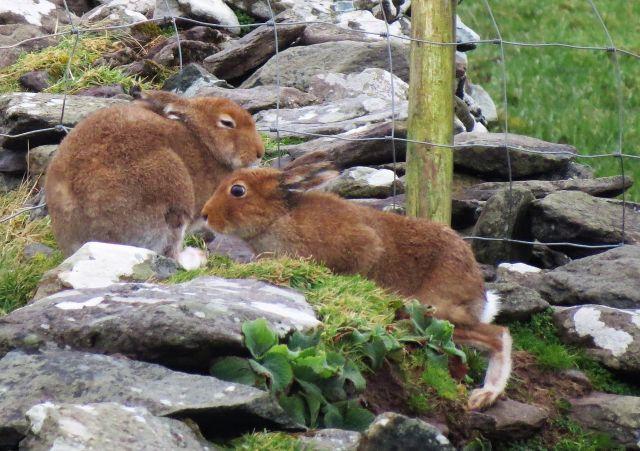 Zwei Mountain Hare - irische Hasen - auf einer Steinmauer. Sie sind relatriv braun.