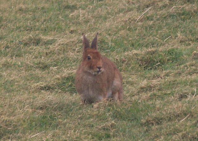 Hase auf einer winterlichen Wiese mit wenig grünem Gras, eher ist das Gras bräunlich geworden.