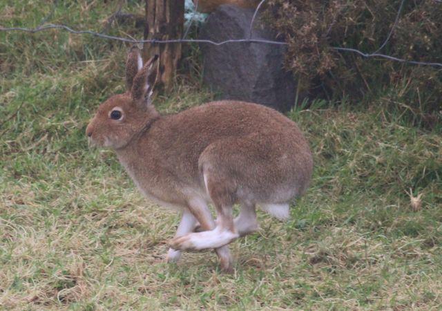 Irischer Mountain Hare im vollen Lauf. Die Hinterläufe sind weit nach vorne gerückt. Er ist bräunlich, die Pfotren eher weiß.