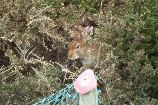Der Kopf eines Mountain Hare ist in einem Stechginsterbuscgh zu sehen. Ein nahezu perfektes Versteck.